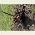 Bottom of walnut stump