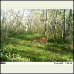 whitetail and fawn