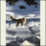 Last winter fox