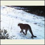 Cougar Dec 18th