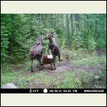 moose battle
