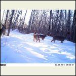 junction deer
