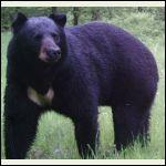 white spot on bear