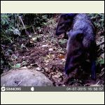 Collared Peccaries
