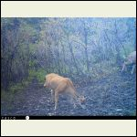 Stumpy the 3-legged mule deer
