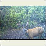 Baldy the fur-challenged deer