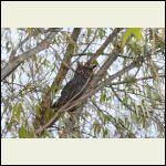 Screeching Barn owl