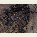 carrion beetles on the carcass