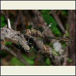 American Emerald dragonfly