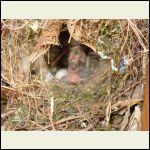 2nd set of baby birds