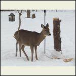 deer coming for snack