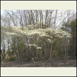 Dogwoods Blooming