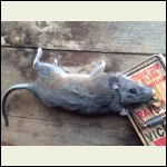 That's a big rat!  He's been eating our deck