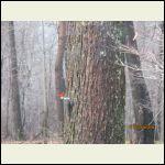 woodpecker one
