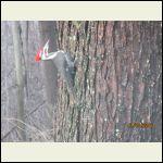 woodpecker two
