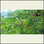 mull berry tree
