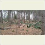Red pine plantation thinned out.