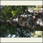 Burned birch tree