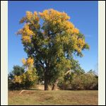 Fall_Cottonwoods_1.P.png