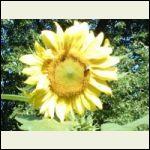 lisas_sunflowers2009.jpg